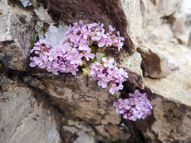 Dolomite Mountain Flowers