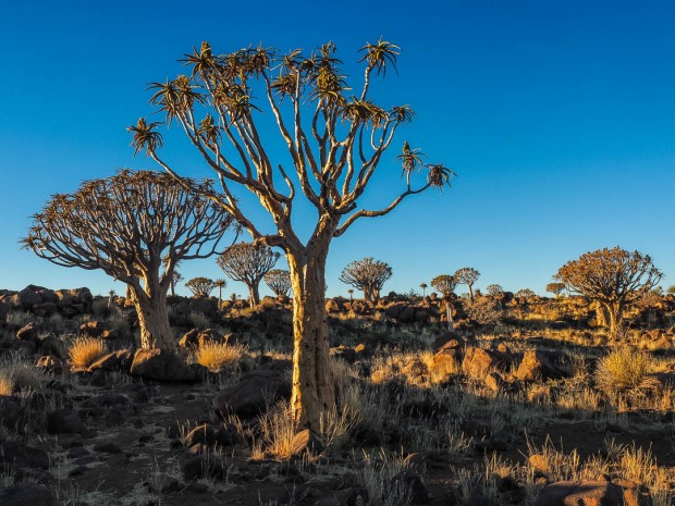 Quivertree Forest 01
