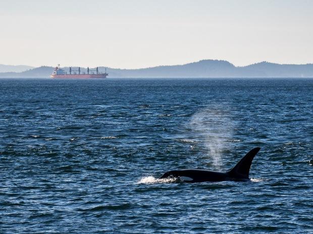 Orca Whale |Haro Strait |2018